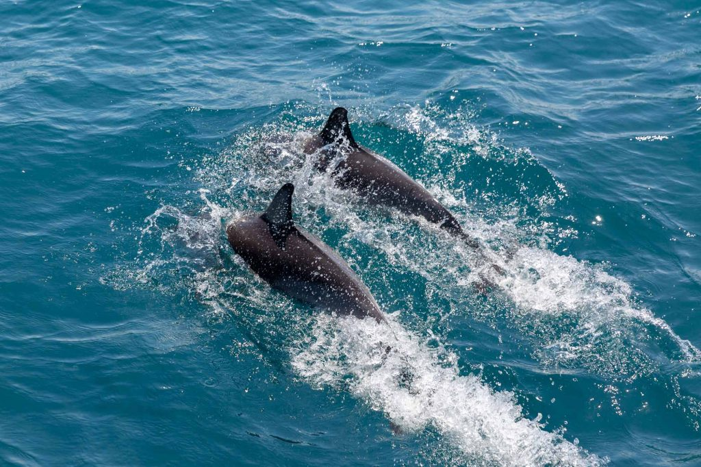 common dolphins in new zealand